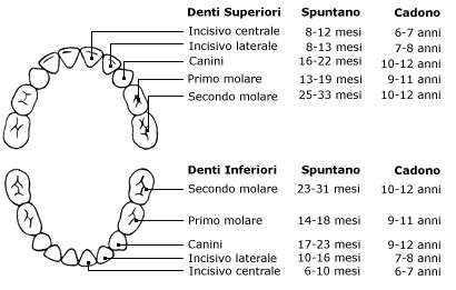 dentatura decidua e permanente studio dentistico lucca ForA Quanti Mesi I Cani Cambiano I Denti
